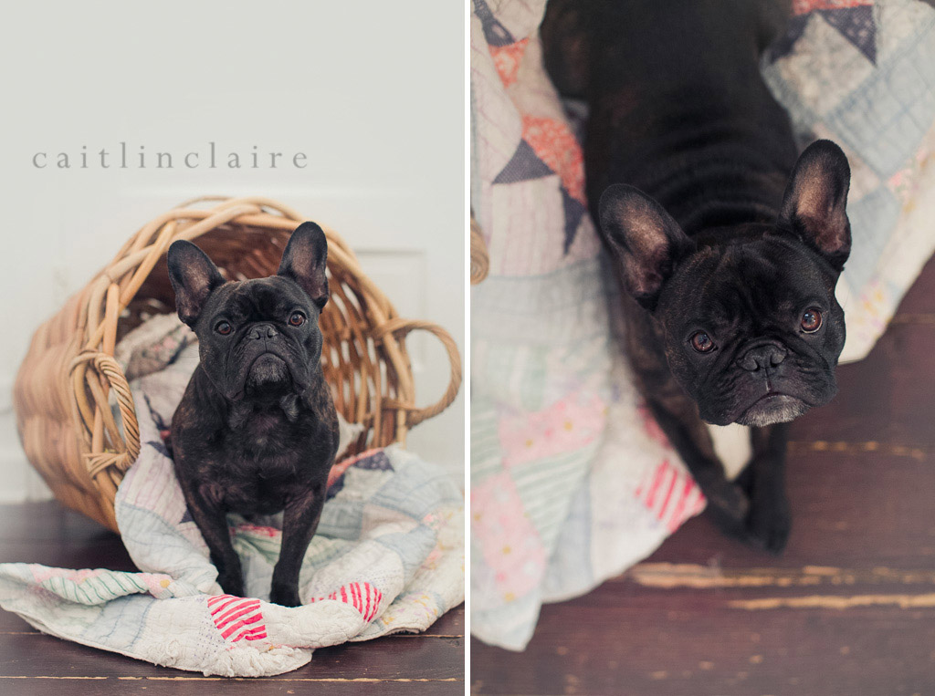 Caitlin_Claire_Studio_Photography_French_Bulldog_10, Pet Photography