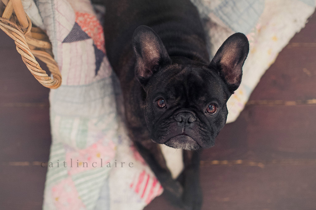 Caitlin_Claire_Studio_Photography_French_Bulldog_12, Pet Photography