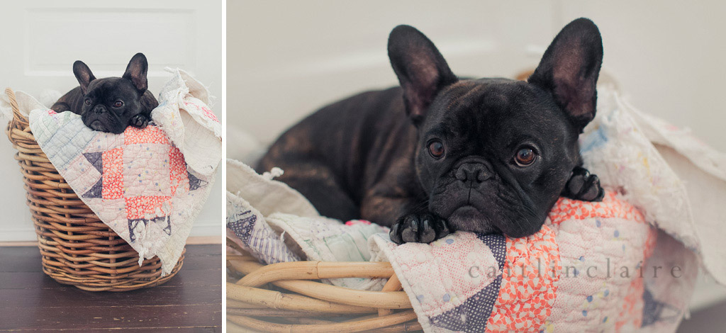 Caitlin_Claire_Studio_Photography_French_Bulldog_13