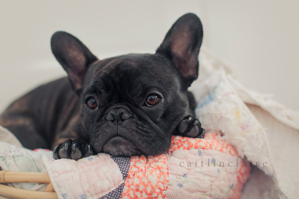 Caitlin_Claire_Studio_Photography_French_Bulldog_15