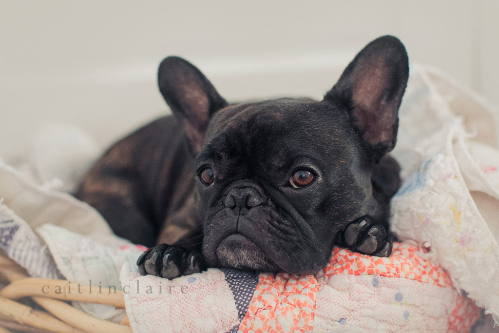 Caitlin_Claire_Studio_Photography_French_Bulldog_18, Pet Photography